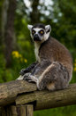 Ring tailed lemur cute in spring nature Stock Photos