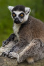Ring tailed lemur cute in spring nature Royalty Free Stock Photography