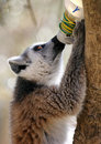 Ring tailed lemur drinking a from a bottle Royalty Free Stock Image