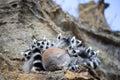 Ring-tailed Lemur Huddled Toge...