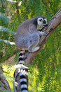 Ring-tailed lemur (lemur catta) Royalty Free Stock Image
