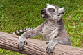 Ring-tailed Lemur (Lemur catta) Lizenzfreie Stockfotos