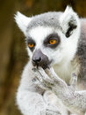 Ring-tailed lemur (Lemur catta) cleaning it's claw Stock Image