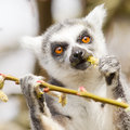 Ring tailed lemur lemur catta eating from a tree Royalty Free Stock Photo