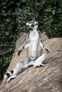 Ring tailed lemur lemur catta is heated humorous animal photo Stock Images