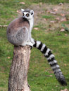 Ring tailed lemur lemur catta his long tail sitting log looking back Stock Photography
