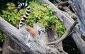 ring-tailed lemur Lemur catta Royalty Free Stock Photo