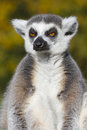 Ring tailed lemur lemur catta resting in the wild Royalty Free Stock Photography
