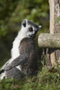 Ring tailed lemur lemur catta resting in the wild Stock Photography