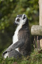 Ring tailed lemur lemur catta resting in the wild Royalty Free Stock Photos