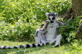 Ring tailed lemur lemur catta in shade tired resting the Stock Photography