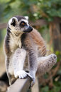 Ring tailed lemur lemur catta a shot of a Royalty Free Stock Photos