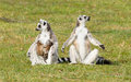 Ring tailed lemur lemur catta with youngsters on the grass Stock Image