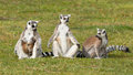 Ring tailed lemur lemur catta with youngsters on the grass Stock Photography