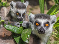 Ring tailed lemur mother with child between leaves Royalty Free Stock Photography