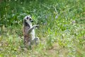 Ring tailed lemur natura viva park verona italy Royalty Free Stock Photography