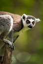 Ring tailed lemur perched on top of a post Stock Image