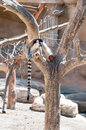 Ring tailed Lemur sitting Stock Photo