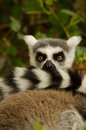 Ring Tailed Lemur Tail Royalty Free Stock Photo