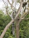 Ring-tailed lemur on tree Royalty Free Stock Photo