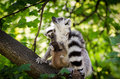 Ring tailed lemur with two babys in the forest Stock Images