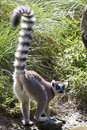 Ring-tailed lemur who stands on the shore of lake its tail rais Royalty Free Stock Photo