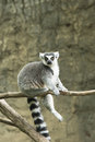 Ring tailed lemur in zoo Royalty Free Stock Photo