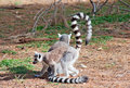 Ring-tailed lemurs Royalty Free Stock Images