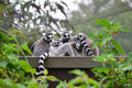 Ring tailed lemurs bunch of cuddling Royalty Free Stock Photos