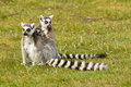Ring tailed lemurs family sitting in a grass field Stock Photos