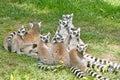 Ring tailed lemurs group of lemur catta Stock Photo