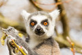 Ring tailed lemurs lemur catta eating in a tree Royalty Free Stock Photo