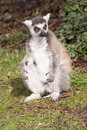 Ring tailed lemurs lemur catta jumping a sitting in a grass field Stock Photo