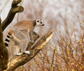 Ring tailed lemurs lemur catta in a tree is standing Royalty Free Stock Photo
