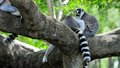 Ring tailed lemurs lemuridae two sitting on a tree branch in zoo miami south florida Royalty Free Stock Photography