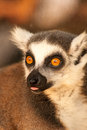 A ring tailed lemurs prosimians in the sun Stock Photos