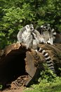 Ring-tailed lemurs sitting on a log Royalty Free Stock Images