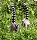 Ring tailed lemurs tail in a madagascar rainforest Stock Photography