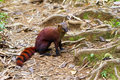 The ring tailed mongoose galidia elegans in ranomafana national park madagascar Stock Image