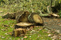 Ringed garden tree that has fallen over and ready to be split for fire wood Stock Image