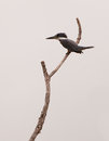 Ringed Kingfisher on branch Stock Photos