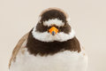 A ringed plover Royalty Free Stock Images