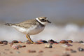 Ringed Plover Royalty Free Stock Photo