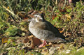 Ringed teal callonetta leucophrys female duck Royalty Free Stock Photo