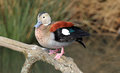 Ringed teal callonetta leucophrys sitting on a branch Royalty Free Stock Photography