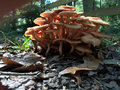 Ringless honey mushrooms a cluster of armillaria tabescens Stock Image