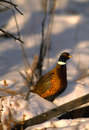Ringnecked Pheasant Rooster Stock Images