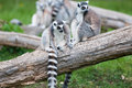 Ringtail Lemurs on a Log Royalty Free Stock Images