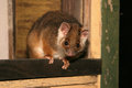 Ringtail possum of australia nocturnal marsupial Stock Photography