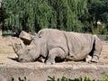 Rinoceronte in giardino zoologico 2 Immagine Stock Libera da Diritti